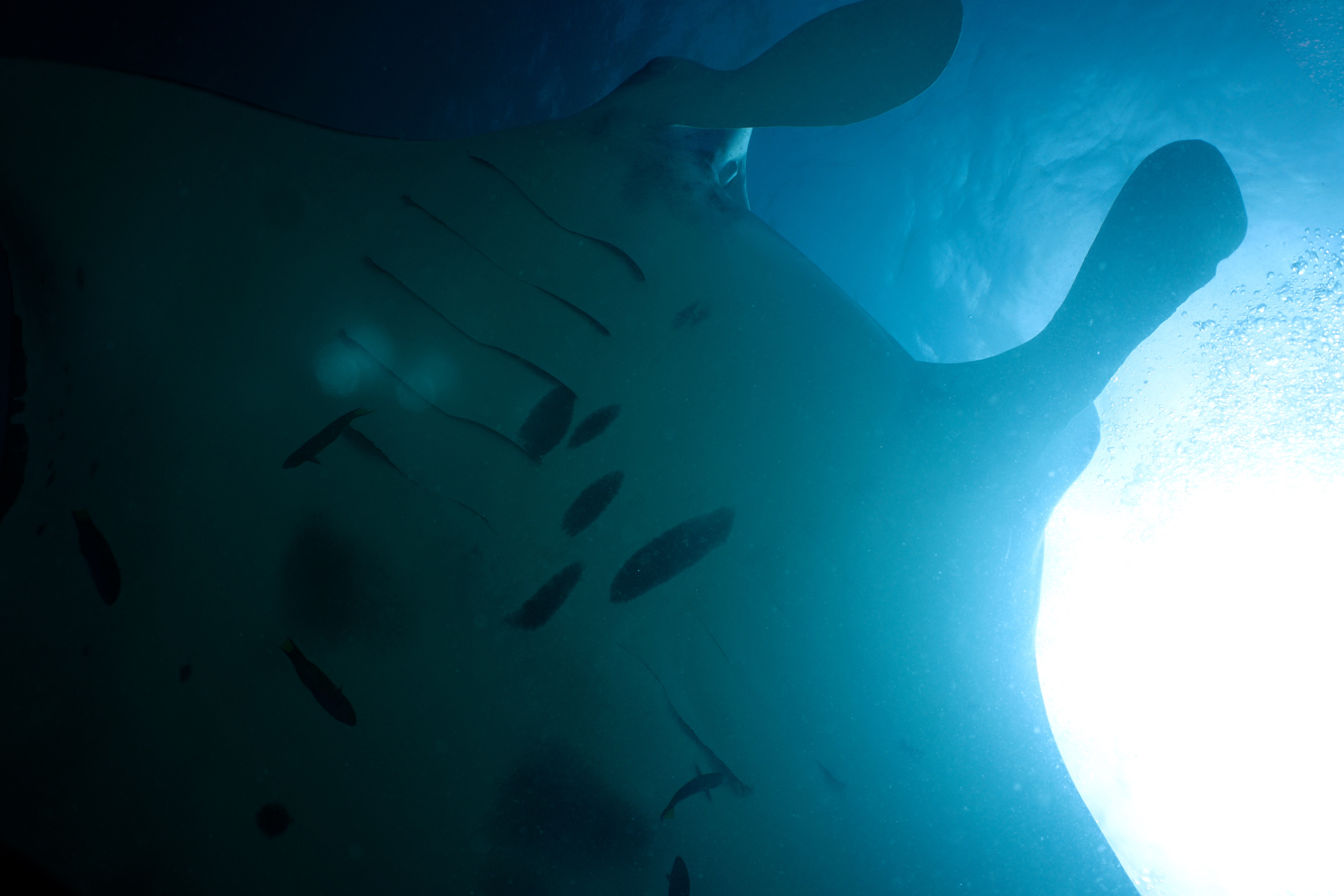 Epic Day Swimming with 150 Mantas!